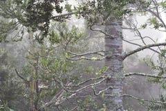 贝壳杉森林在雨中 免版税库存照片