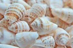 贝壳汇集关闭,白色,柔和的淡色彩,海胆壳 库存图片