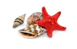 贝壳海星 免版税库存图片