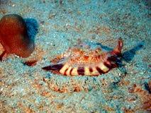 贝壳贝类 免版税库存图片