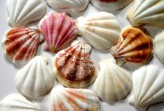 贝壳 免版税库存图片