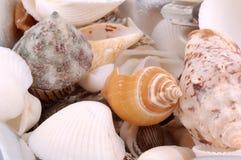 贝壳 免版税图库摄影