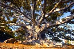 贝弗莉山庄结构树 库存图片