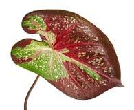 贝母双色的叶茂盛植物的叶子或女王/王后,在白色背景隔绝的双色的叶子 库存照片