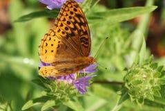 贝母蝴蝶在北卡罗来纳夺取了哺养! 免版税库存照片