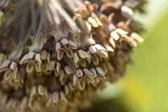 贝母persica 在庭院,贝母芽绿色花里反弹 图库摄影