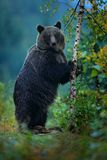 负担上升,得到在一个` s后腿,有落叶松属秋天树的 棕熊在冬天前 斯洛伐克山Mala Fatra,绿色前面 免版税库存图片