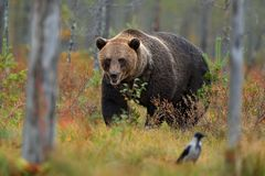 负担与在与熊的黄色森林秋天树掩藏的鸟 走在有秋天颜色的湖附近的美丽的棕熊 危险 免版税库存照片