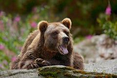 负担与开放枪口、舌头和牙 棕熊画象,坐灰色石头,桃红色花在背景 危险 免版税库存图片