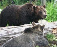负担加拿大北美灰熊 免版税库存图片