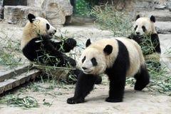 负担北京瓷熊猫 免版税库存图片