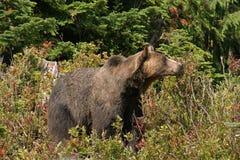 负担北美灰熊 库存图片