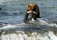 负担北美灰熊 免版税库存照片