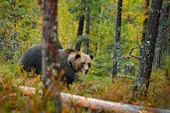 负担在与熊的黄色森林秋天树掩藏 走在有秋天颜色的湖附近的美丽的棕熊 危险动物 图库摄影