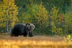 负担在与熊的黄色森林秋天树掩藏 走在有秋天颜色的湖附近的美丽的棕熊 危险动物 库存图片
