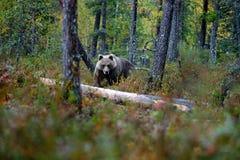 负担在与熊的黄色森林秋天树掩藏 走在有秋天颜色的湖附近的美丽的棕熊 危险动物 免版税库存图片