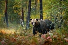 负担在与熊的黄色森林秋天树掩藏 走在有秋天颜色的湖附近的美丽的棕熊 危险动物 免版税库存照片