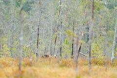 负担在加拿大桦森林与熊的秋天树掩藏 走在有秋天颜色的湖附近的美丽的棕熊 暗藏的丹 免版税图库摄影
