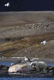 负担极性精液被洗涤的鲸鱼 库存照片