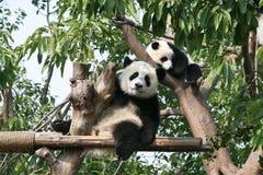 负担照相机巨型查找的熊猫 免版税库存图片