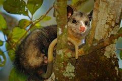 负鼠, Didelphis marsupialis,狂放的自然,墨西哥 从自然的野生生物动物场面 在树的罕见的动物 共同的负鼠, g 免版税库存照片