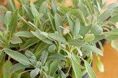 贤哲植物,贤哲在草本庭院里 免版税库存照片