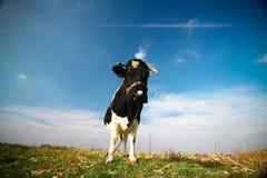 质朴的母牛 免版税图库摄影