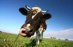 质朴的母牛 库存照片