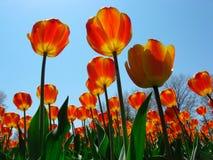 质量种植的郁金香 库存照片