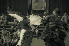 贪婪白被盯梢的老鹰在动物园的夏天特写镜头展示和她的教练员的 库存照片