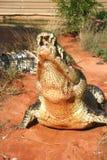 贪婪的鳄鱼 免版税库存照片