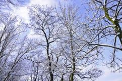 贫瘠积雪覆盖的树在一个晴朗和明亮的冬日 免版税库存图片