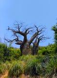 贫瘠老结构树 免版税图库摄影