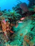贮藏在海绵和银莲花属中的鱼游泳在50 ft水在离海岸的附近 库存图片