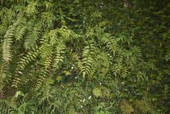 贯众属falcatum植物 库存图片