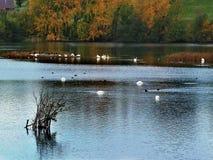 费尔伯恩的Ings用水鸟,约克夏湖 免版税库存照片