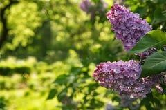 贺卡的背景与紫丁香属植物花 免版税库存图片