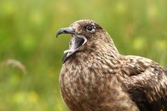 贼鸥类贼鸥 大鸟 采取在挪威 Runde海岛 免版税图库摄影