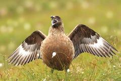贼鸥类贼鸥 大鸟 采取在挪威 Runde海岛 图库摄影