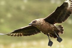 贼鸥类贼鸥 大鸟 采取在挪威 Runde海岛 免版税库存照片