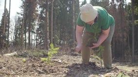 资深义务种植一根小冷杉木 影视素材