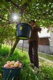 资深农夫采摘苹果 免版税图库摄影