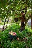 资深农夫采摘苹果 免版税库存图片