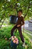 资深农夫采摘苹果 免版税库存照片