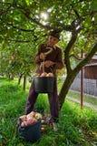 资深农夫采摘苹果 库存图片