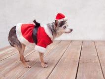资深奇瓦瓦狗狗穿着在木平台的圣诞老人衣服 免版税库存照片