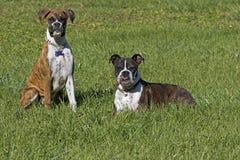 资深拳击手狗和小狗拳击手尾随休息在一个象草的领域 图库摄影