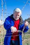 资深男性修剪葡萄树分支画象在葡萄园里 库存图片