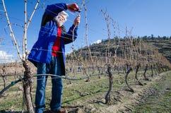 资深男性修剪葡萄树分支在葡萄园里 库存图片