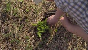 资深绿色活动家植物杜松树 股票录像